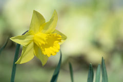 Daffodil blooming in flowerbed Stock Images
