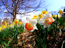 The daffodil blooming in spring Stock Photography