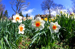 The daffodil blooming in spring Stock Images