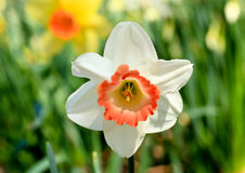 The daffodil blooming in spring Stock Image
