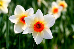 The daffodil blooming in spring Royalty Free Stock Photo