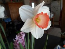 Daffodil blooms in a pot in the living room royalty free stock images