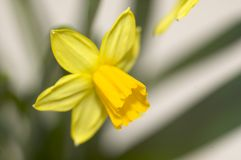 Daffodil blossom Royalty Free Stock Photography