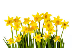 Daffodil blossoms Stock Photography