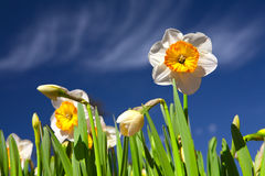 Daffodil and blu sky Stock Images