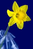 Daffodil and blue background. Single daffodil flower in on the dark blue background Royalty Free Stock Photography