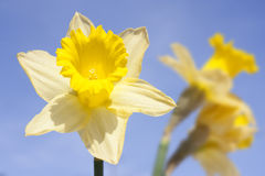 Daffodil on blue sky Stock Photo