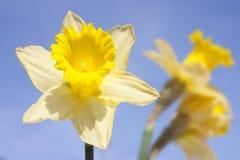 Daffodil on blue sky Stock Photo