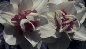 Daffodil blue zoom stock footage