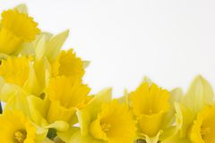 Daffodil border stock photo