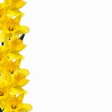 Daffodil Border. Daffs isolated on white with Clipping Path - place flowers on your own backdrop/rotate position royalty free stock image