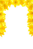Daffodil Border. Vertical partial surround royalty free stock photo
