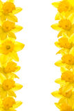 Daffodil Border Royalty Free Stock Photography