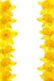 Daffodil Border royalty free stock photography