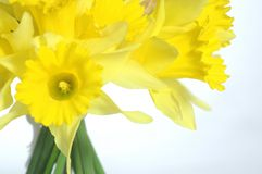 Daffodil Bouquet. Bouquet of daffodils on white background Royalty Free Stock Image