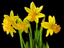 Daffodil Bouquet Royalty Free Stock Photo