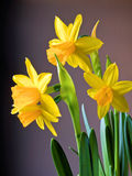 Daffodil bouquet Royalty Free Stock Image