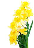 Daffodil Bouquet. Fresh yellow and white daffodil bouquet isolated on white stock image