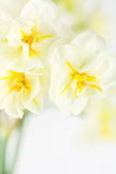 Daffodil bouquet, high key close up Royalty Free Stock Image