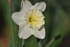 Daffodil branco Imagem de Stock