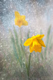 Daffodil on bright spring day Royalty Free Stock Images