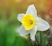 Daffodil Stock Images