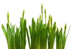 Daffodil buds growth isolated white Stock Image
