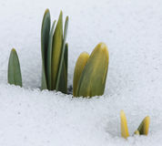 Daffodil Buds Pushing Up Through the Snow Royalty Free Stock Photos