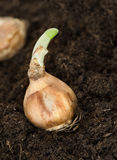 Daffodil bulb. Sprouting daffodil bulb on earth, other one in the background Stock Image