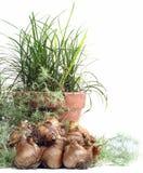 Daffodil bulbs. With a tera cota pot Stock Photo