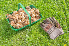 Daffodil bulbs ready to plant Royalty Free Stock Photography