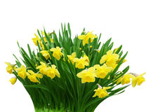 Daffodil Bunch Royalty Free Stock Image