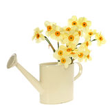 Daffodil can Stock Images