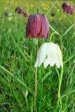 Daffodil Checkered Imagem de Stock