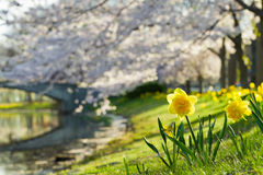 Daffodil and Cherry Blossom Royalty Free Stock Photo