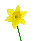 Daffodil with clipping path Stock Images