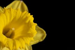 Daffodil (close up) Imagem de Stock Royalty Free