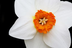 Daffodil Close Up Royalty Free Stock Image