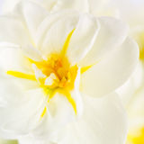 Daffodil close up Royalty Free Stock Photography