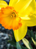Daffodil Close Up View royalty free stock photography