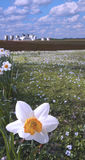 Daffodil closeup and farm Royalty Free Stock Images