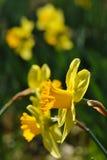 Daffodil. Closeup of yellow daffodil, macro Stock Photos