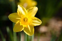Daffodil. Closeup of yellow daffodil, macro Stock Image