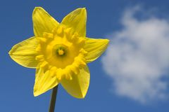 Daffodil and Cloud. A daffodil shot against a blue spring sky with a single cloud royalty free stock image