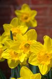 Daffodil cluster against red brick wall background. Daffodil cluster against red brick wall Stock Image
