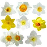 Daffodil collection. Set of daffodil flowers isolated on white background Stock Images