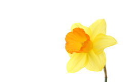 Daffodil with copy space Royalty Free Stock Photo