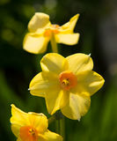 Daffodil in the countryside, close-up Stock Image