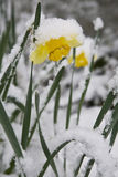 Daffodil covered in snow Stock Image