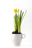 Daffodil in a cup. Fresh daffodil in a white ceramic cup on a white background Stock Photography